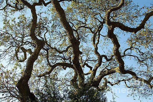 Charmian Vistaunet - Live Oak Tree Patterns