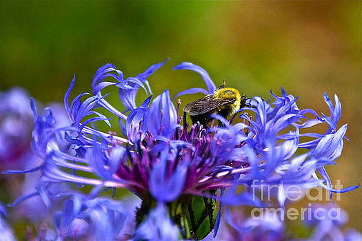 Byron Varvarigos - Mountain Cornflower and Bumble Bee