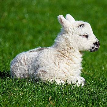 Tracey Harrington-Simpson - New Born Lamb