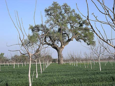 Marsha Ingrao - Oak Tree Guards Fruit