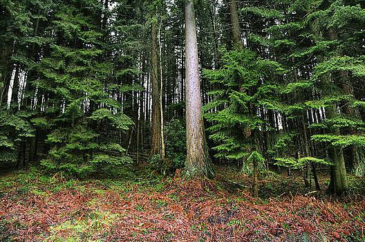 Svetlana Sewell - Pine Woods