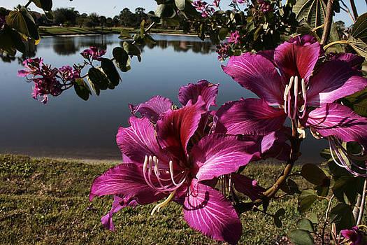 Regina  Williams  - Purple Orchid Tree