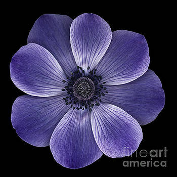 Oscar Gutierrez - Purple poppy