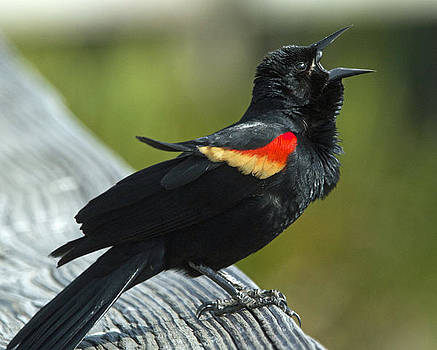 Dee Carpenter - Redwing Blackbird Male