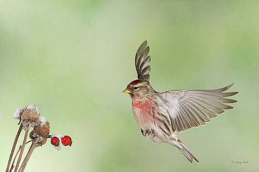 Gerry Sibell - Rodney the Redpoll