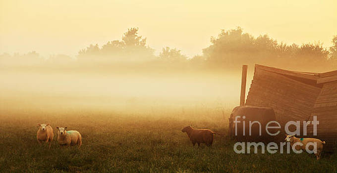 LHJB Photography - Sheep in a foggy field at sunrise