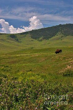 Charles Kozierok - Solitary Bison