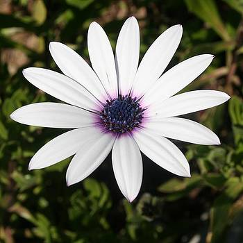 Tracey Harrington-Simpson - White African Daisy