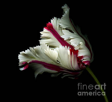 Oscar Gutierrez - White and Red Tulip