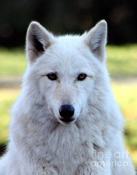 Nick Gustafson - White Wolf Close Up