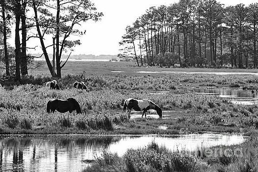 Dan Friend - Wild horses of Assateague feeding