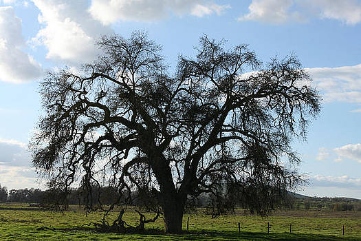 Marsha Ingrao - Winter Valley Oak