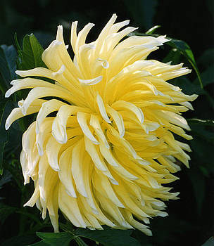 Robert Lozen - YELLOW FLOWER