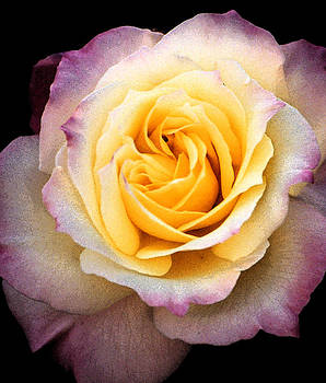 Robert Lozen - YELLOW NEW ROSE
