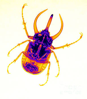 Ted Kinsman - Atlas Beetle X-ray