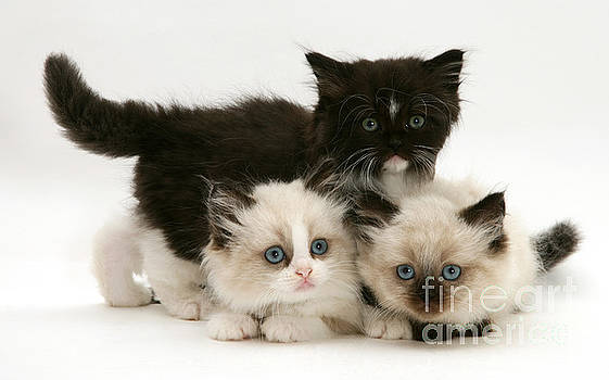 Jane Burton - Birman-persian Kittens