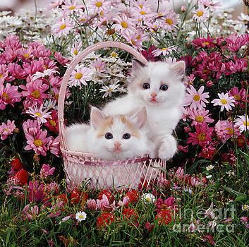 Jane Burton - Ragdoll-cross Kittens