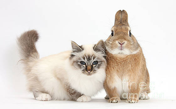 Mark Taylor - Tabby-point Birman Cat And Rabbit