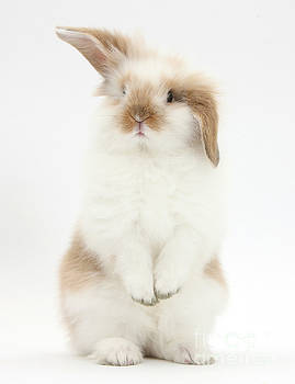 Mark Taylor - Young Fluffy Rabbit Standing Up