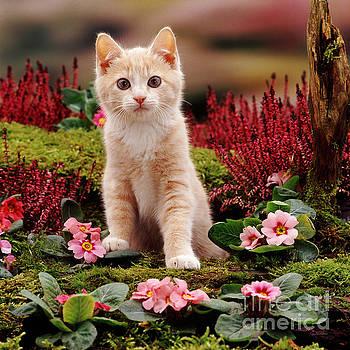 Jane Burton - Kitten