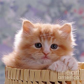 Jane Burton - Ginger Kitten
