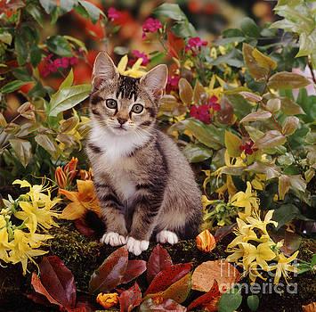 Jane Burton - Agouti Tabby Kitten