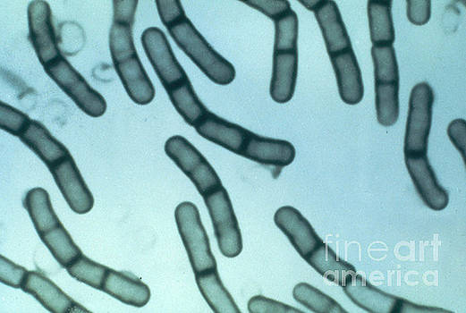 ASM/Science Source - Bacillus Megaterium