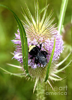 Nick Gustafson - Bee on a Thistle