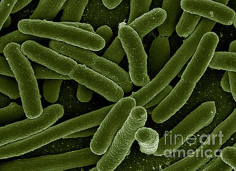 Science Source - Escherichia Coli Bacteria, Sem