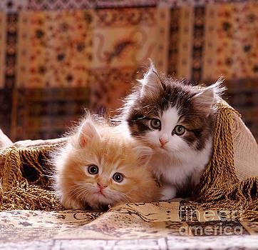 Jane Burton - Fluffy Ginger And Tabby-and-white Kitten