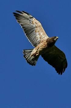 Mario Brenes Simon - Flying Hawk under a blue sky