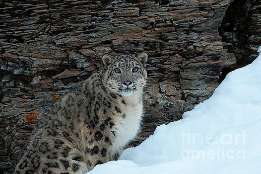 Sandra Bronstein - Gaze of the Snow Leopard