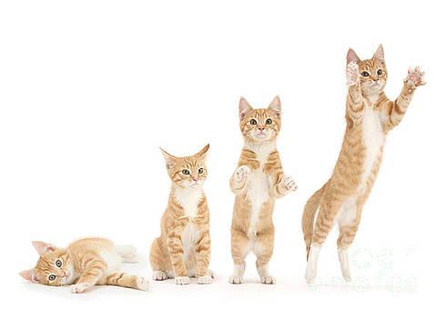 Mark Taylor - Ginger Kitten Leaping