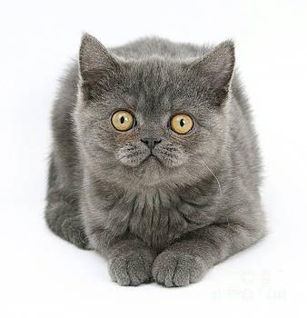 Mark Taylor - Grey Kitten
