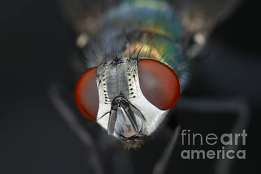Ted Kinsman - Head Of A Green Blow Fly