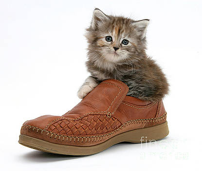 Mark Taylor - Kitten In Shoe