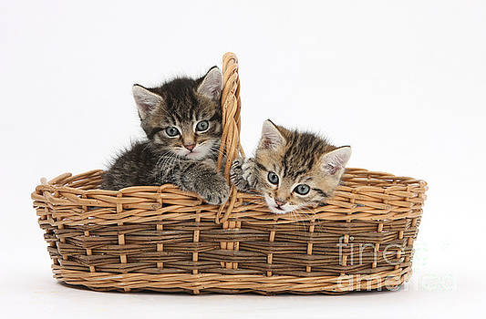 Mark Taylor - Kittens In A Basket