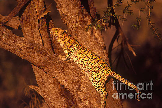 Gregory G. Dimijian - Leopard Chasing Tree Squirrel