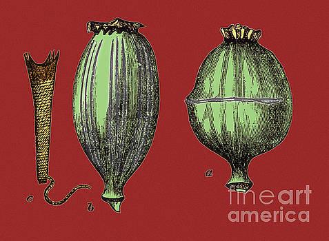 Science Source - Opium Harvesting