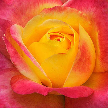 Edward Sobuta - Pink and Yellow Rose 8