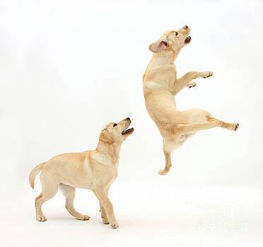 Mark Taylor - Playful Labrador Pups