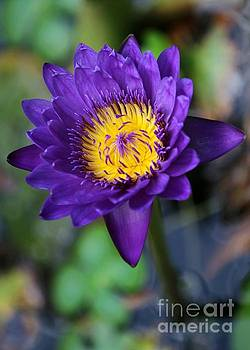 Sabrina L Ryan - Purple n Yellow Water Lily