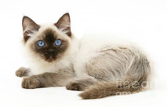 Mark Taylor - Ragdoll Kitten