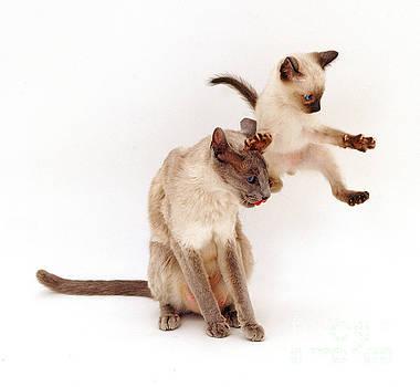Jane Burton - Siamese Kitten Leaping