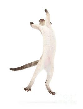 Mark Taylor - Siamese Kitten