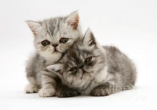 Jane Burton - Smoke And Silver Exotic Shorthair Kitten