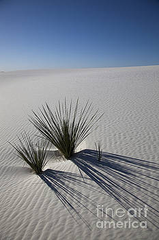 Greg Dimijian - Soaptree Yuccas On White Sands