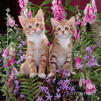 Jane Burton - Spotted Tabby Kittens