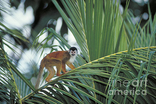 Gregory G. Dimijian - Squirrel Monkey