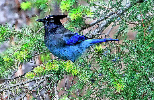 James Steele - Steller Jay